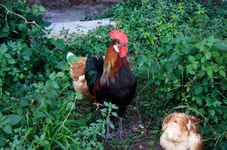 pollo belleza inteligente