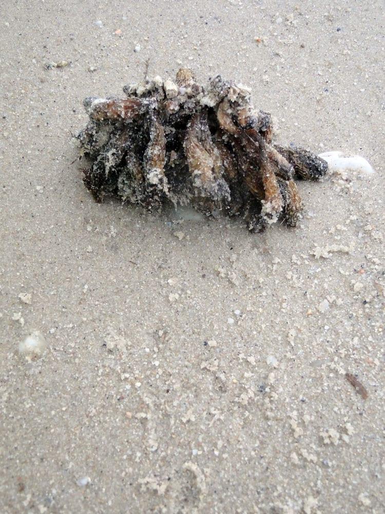 sea plant barnacles