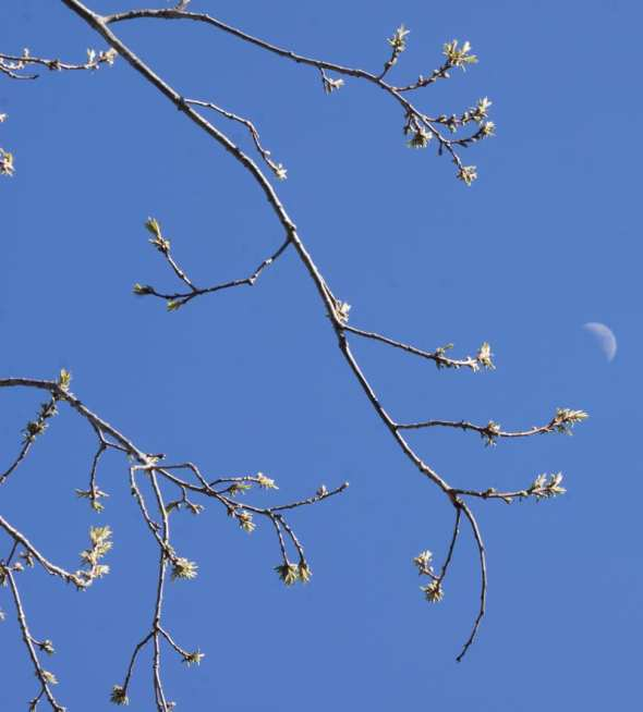 tree buds and half moon