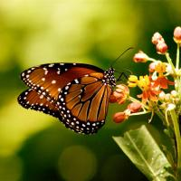 Monarch Butterflies, Lost Without a Compass