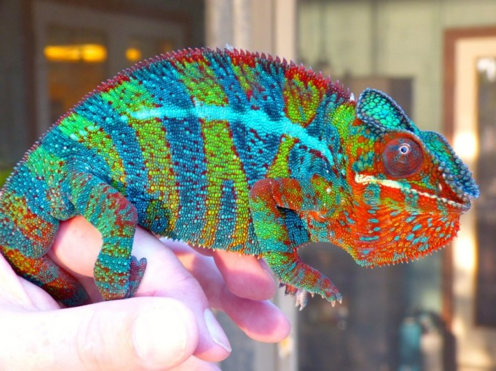 Chameleon: Not all chameleons can change color, and most of the ones that can don't use it for camouflage.