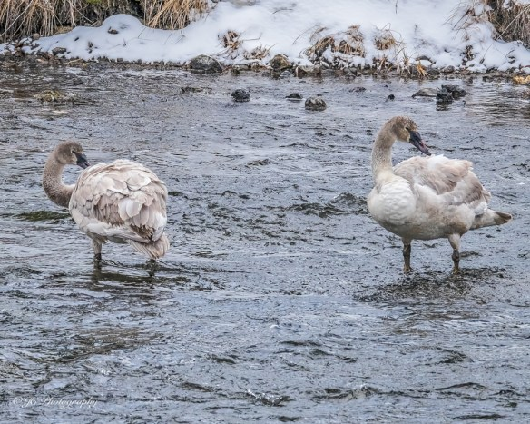young trumpeter swans