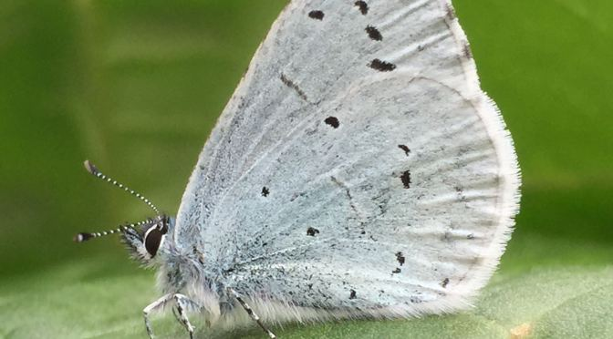 Holly blue – #5 Butterfly Challenge