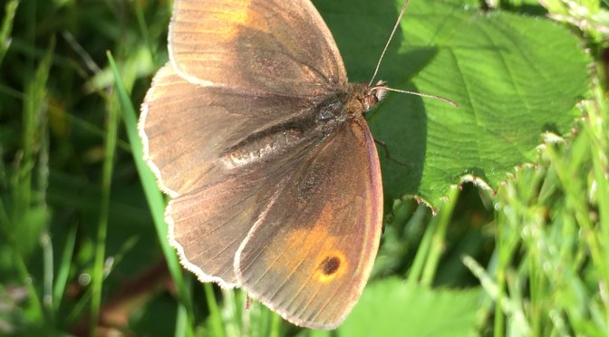 Meadow brown – #7 Butterfly Challenge