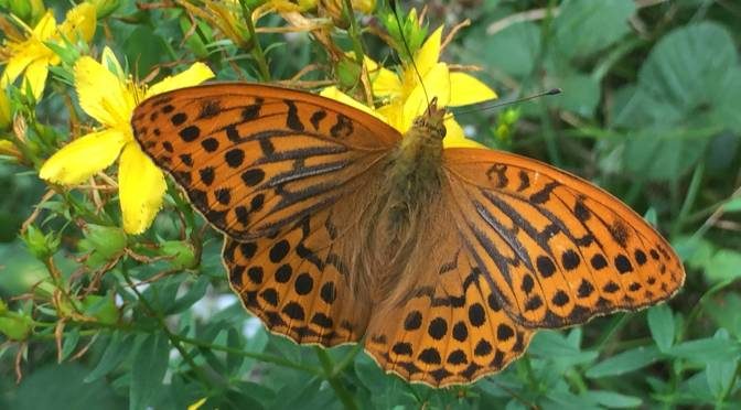 Silver-washed fritillary – # 18 Butterfly challenge