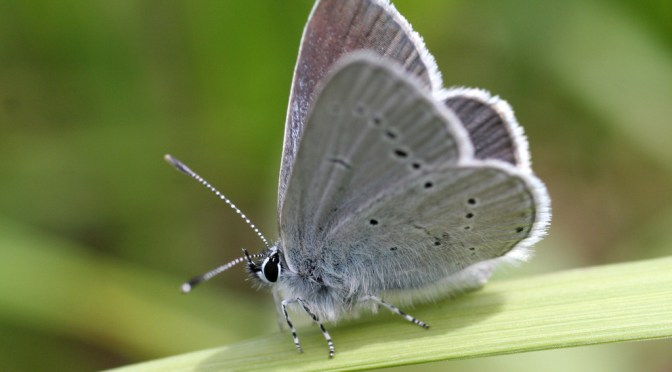 Small blue – #6 Butterfly Challenge