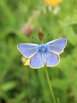 Common Blue#3