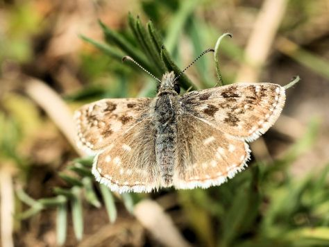 Dingy Skipper#2 cropped