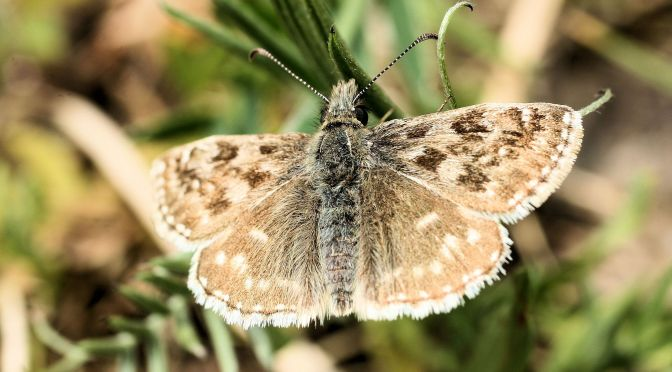Dingy skipper #2 Butterfly challenge