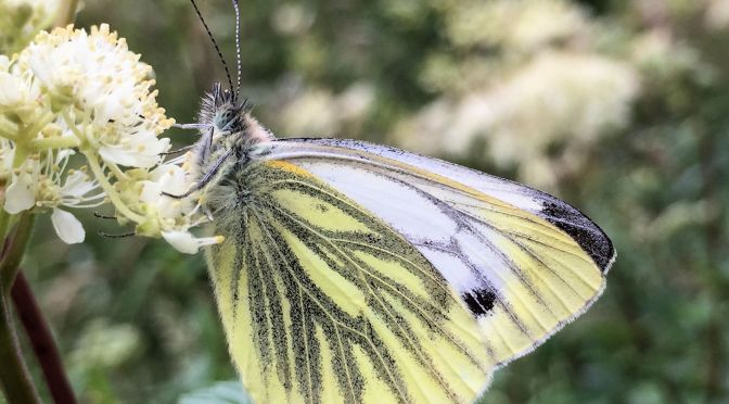 Green-veined white – #12 Butterfly Challenge