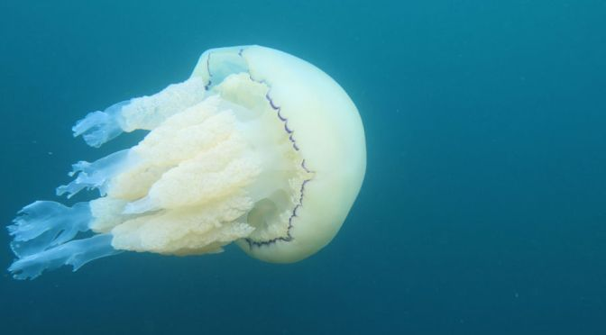 Spare a thought for the jellyfish