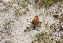 Small Copper resize