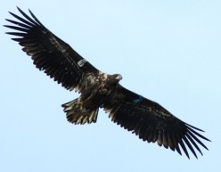white-tailed-eagles-11-630x490