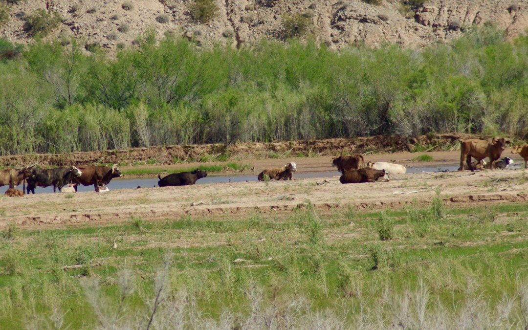 Bundy Lawless Grazing and Bulldozing of Virgin River