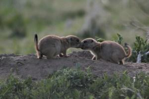 Boulder Prairie Pups
