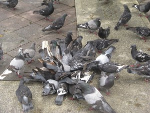 feral pigeons on the ground