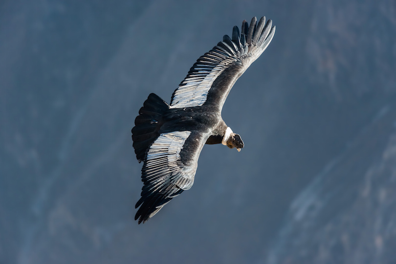 Andean condor flying in the Colca Canyon, Peru