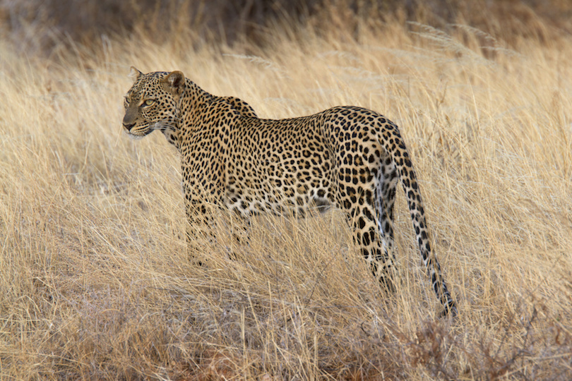 Wild leopard standing in yellow grass