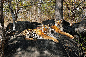 pench widllife tours package india