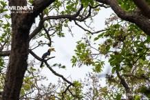 Oriental Pied Hornbill at dudhwa tiger reserve