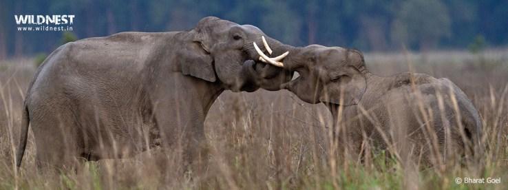 Corbett Elephants Fight at corbett tiger reserve