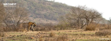 tiger walking in habitat at ranthambore national park