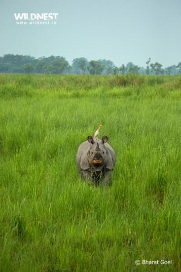 Rhino with bird at dudhwa tiger reserve