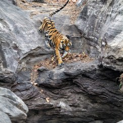tiger cave at bandhavgarh national park
