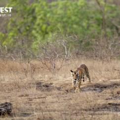 tiger cub at bandhavgarh national park