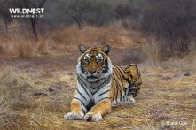 Tiger relaxing at Ranthambore National Park