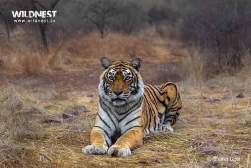 Tiger relaxing at Ranthambore National Park