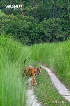 Tiger at dudhwa tiger reserve