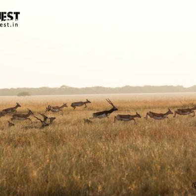 blackbuck running at velavadar national park
