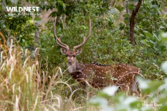 deer with porcupine at kanha national park