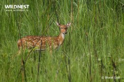 spotted deer at dudhwa national park