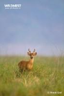 hog deer in grassland at corbett tiger reserve