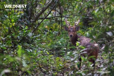 hog deer at Kaziranga National Park