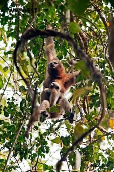 hoolock gibbon with baby at Kaziranga National Park