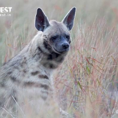 hyena at velavadar national park