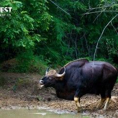 indian gaur drinking at tadoba andhari tiger reserve