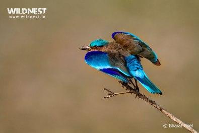 Indian Roller at Kaziranga National Park