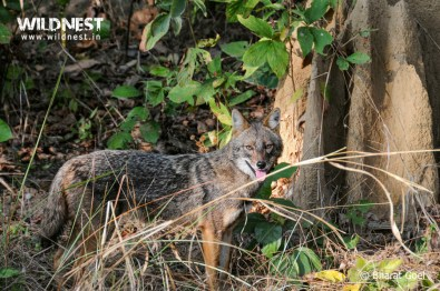 jackal at kanha national park