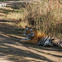 tiger relaxing at kanha national park