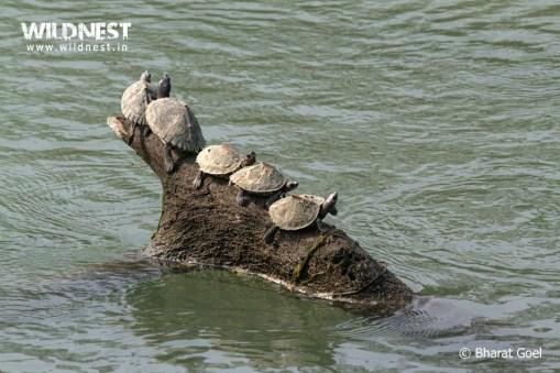turtle at Kaziranga National Park