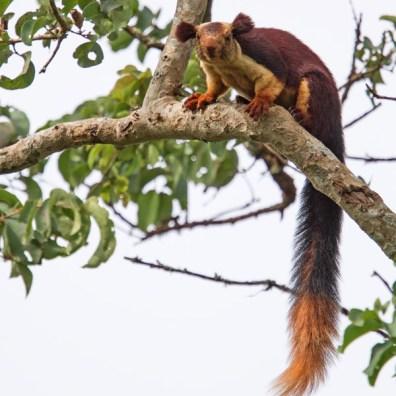 malabar gaint squirell at bandipur national park