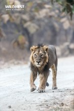 Male Lion at gir national park
