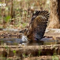 eagle at nagzira wildlife sanctuary