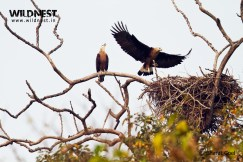 pallash-fish eagle at Kaziranga National Park