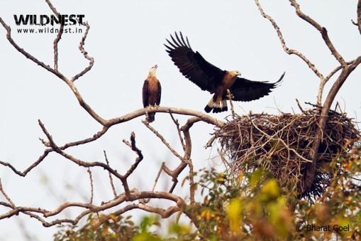 pallash-fish eagle at Kaziranga National Park