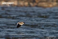 lapwing in flight at corbett tiger reserve